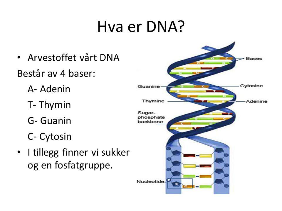 Hva er DNA? Arvestoffet vårt DNA Består av 4 baser: A- Adenin T- Thymin G- Guanin C- Cytosin I tillegg finner vi sukker og en fosfatgruppe.