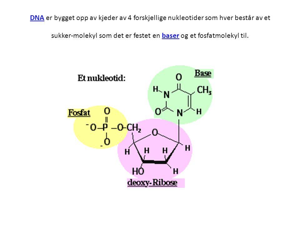 DNADNA er bygget opp av kjeder av 4 forskjellige nukleotider som hver består av et sukker-molekyl som det er festet en baser og et fosfatmolekyl til.b