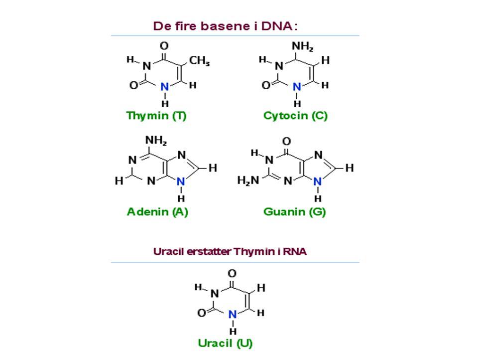Det Genetiske kode DNA har koder for alle proteiner men de er skrevet med bare 4 nitrogenbaser (A-T-G-C) Proteiner består av aminosyrer og finnes bare 20.