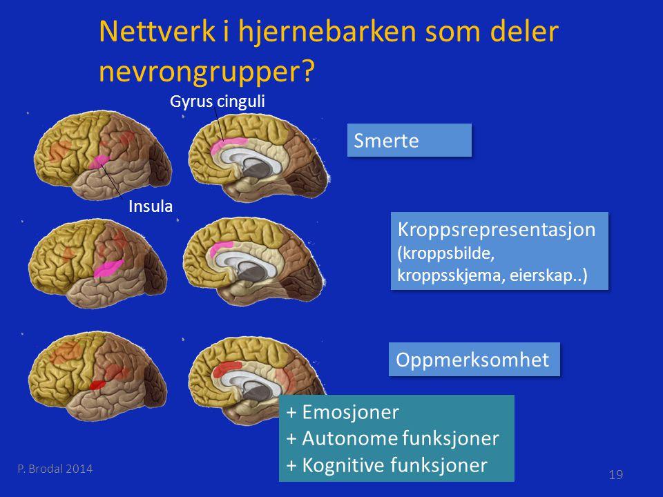Nettverk i hjernebarken som deler nevrongrupper? Insula Gyrus cinguli Smerte Kroppsrepresentasjon (kroppsbilde, kroppsskjema, eierskap..) Oppmerksomhe