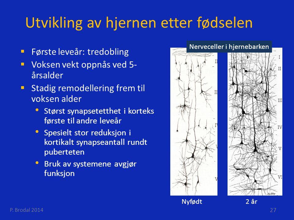 Utvikling av hjernen etter fødselen  Første leveår: tredobling  Voksen vekt oppnås ved 5- årsalder  Stadig remodellering frem til voksen alder Stør