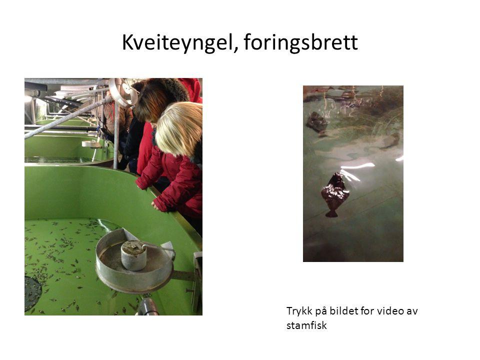 Kveiteyngel, foringsbrett Trykk på bildet for video av stamfisk