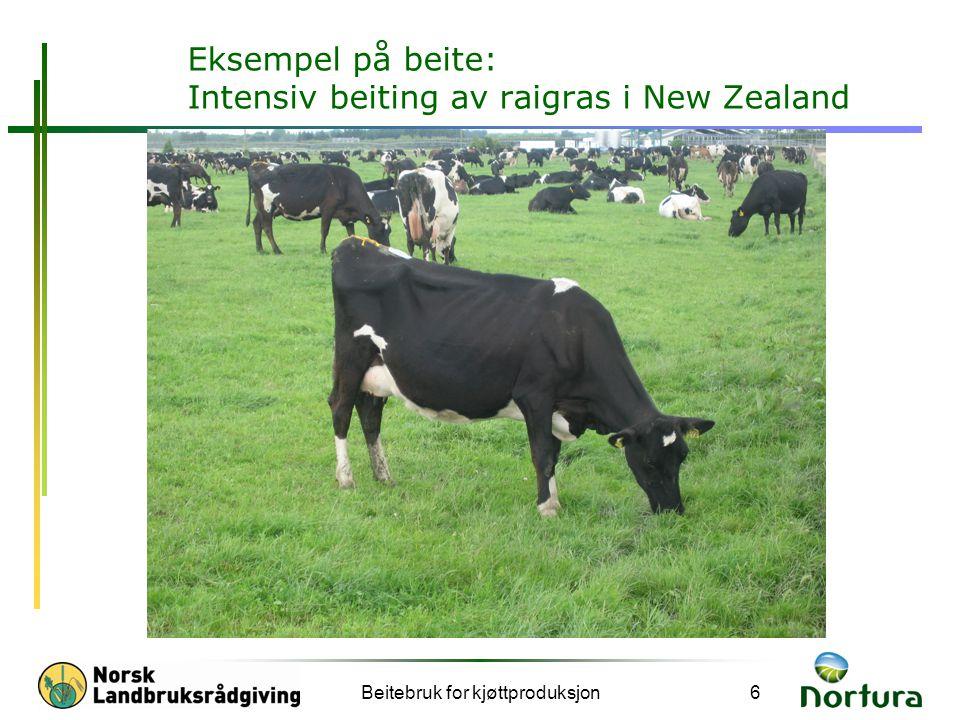 Beitebruk for kjøttproduksjon6 Eksempel på beite: Intensiv beiting av raigras i New Zealand