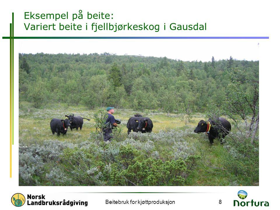 Beitebruk for kjøttproduksjon8 Eksempel på beite: Variert beite i fjellbjørkeskog i Gausdal