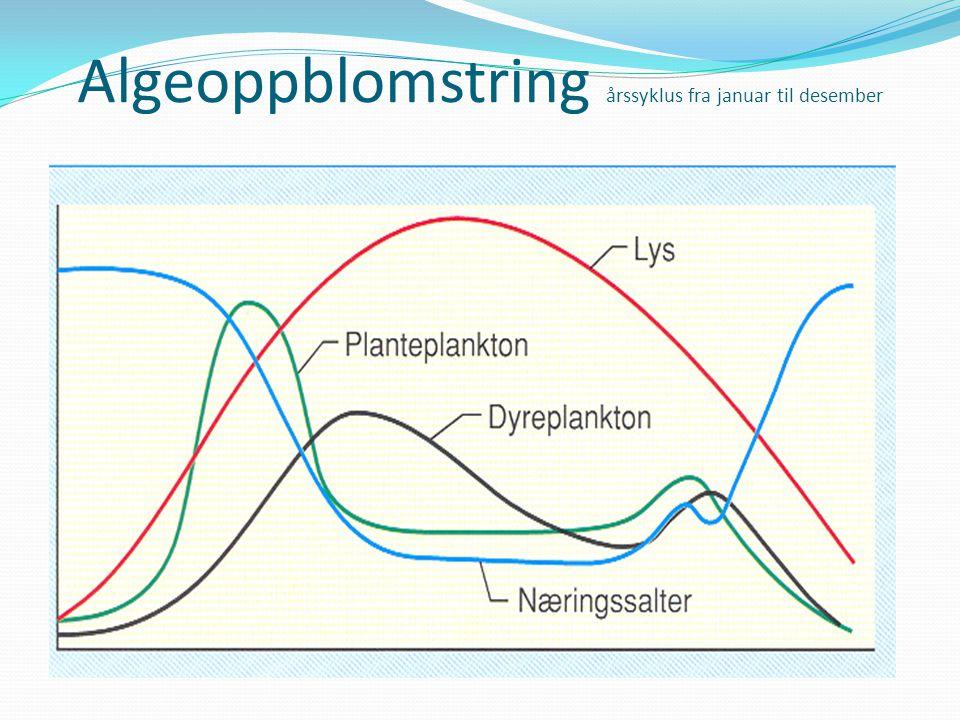 Litt om dyreplankton Dyreplankton spiser(beiter) på planteplankton Kan bevege seg Horisontalt Vertikalt Dyreplankton er hovedføde for fiskelarver Næringsgrunnlag for lodde,sild,makrell,torsk, osv Dyreplankton utgjør alt fra små encella individ til store maneter