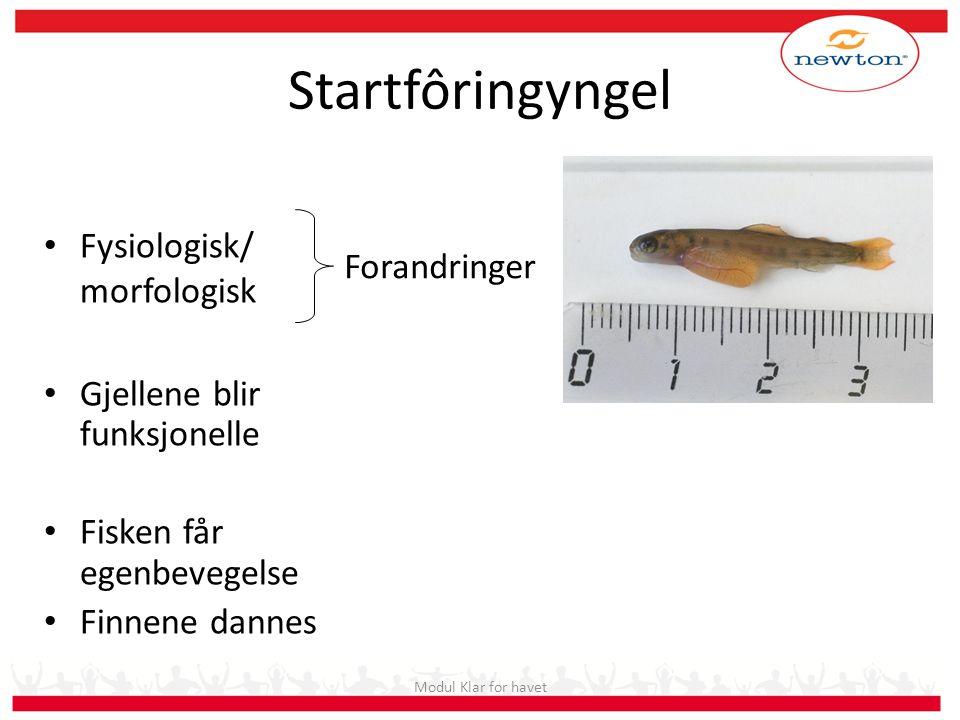 Startfôringyngel Fysiologisk/ morfologisk Gjellene blir funksjonelle Fisken får egenbevegelse Finnene dannes Forandringer Modul Klar for havet