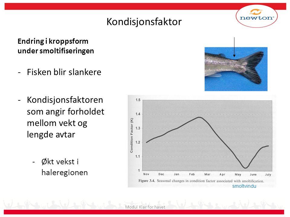 Endring i kroppsform under smoltifiseringen -Fisken blir slankere -Kondisjonsfaktoren som angir forholdet mellom vekt og lengde avtar -Økt vekst i hal