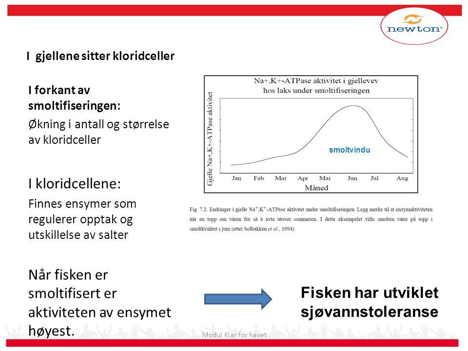 I gjellene sitter kloridceller I forkant av smoltifiseringen: Økning i antall og størrelse av kloridceller I kloridcellene: Finnes ensymer som reguler