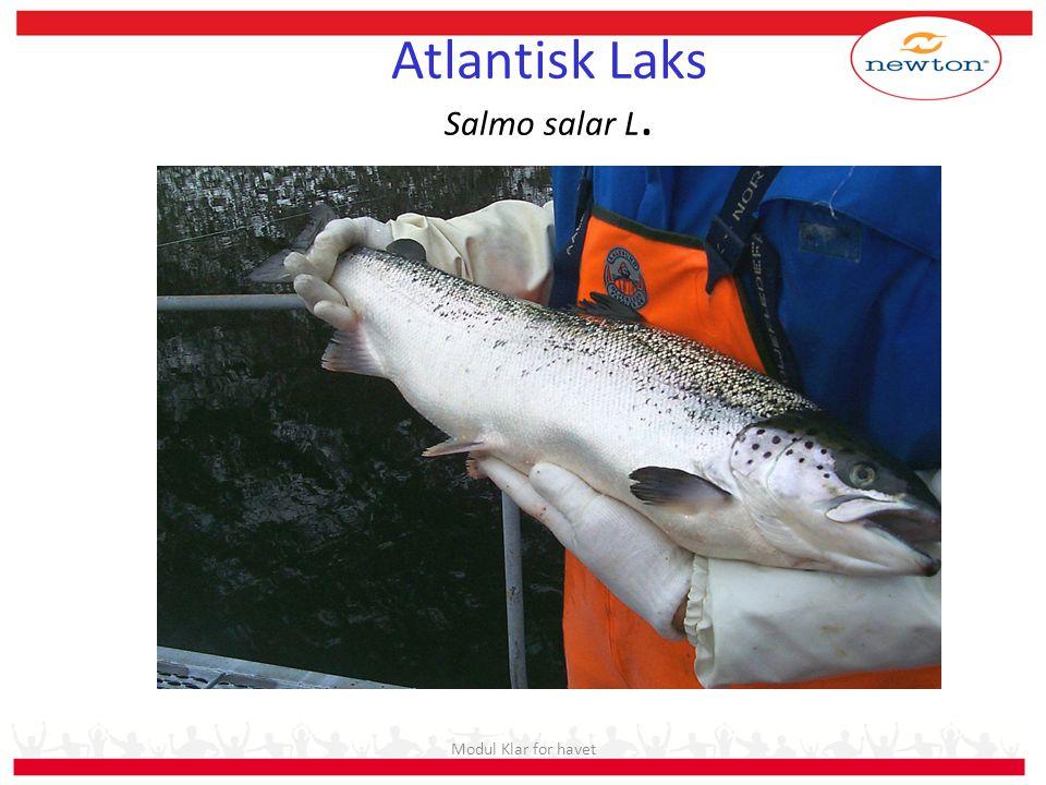 Modul Klar for havet Atlantisk Laks Salmo salar L.