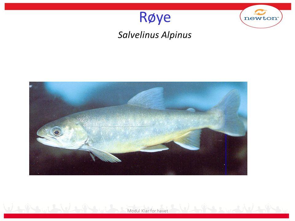 Stadier i saltvann: – Postsmolt – Slaktefisk Fisk som går i avl: – Stamfisk Kjønnsmoden hann laks Modul Klar for havet