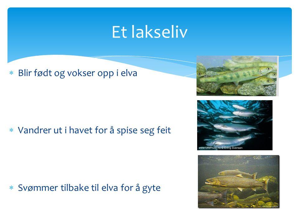 Et lakseliv  Blir født og vokser opp i elva  Vandrer ut i havet for å spise seg feit  Svømmer tilbake til elva for å gyte