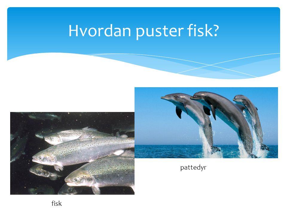 Hvordan puster fisk? pattedyr fisk