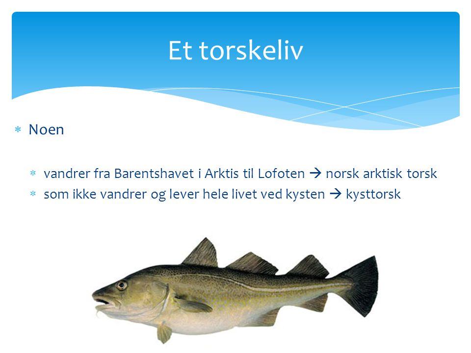 Skreien ( Den norsk arktiske torskestammen)  Gyter i Lofoten  Yngelen driver med havstrømmen nordover til Barentshavet  Drar til Finnmark for å spise seg stor  Drar til Lofoten for å gyte
