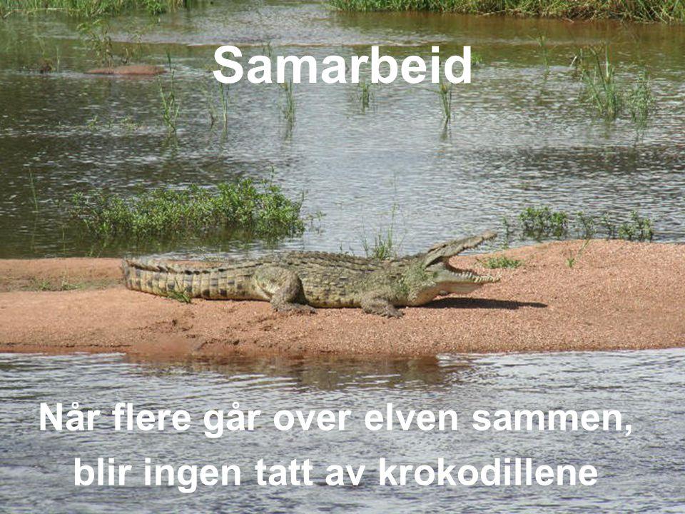 29 Når flere går over elven sammen, blir ingen tatt av krokodillene Samarbeid