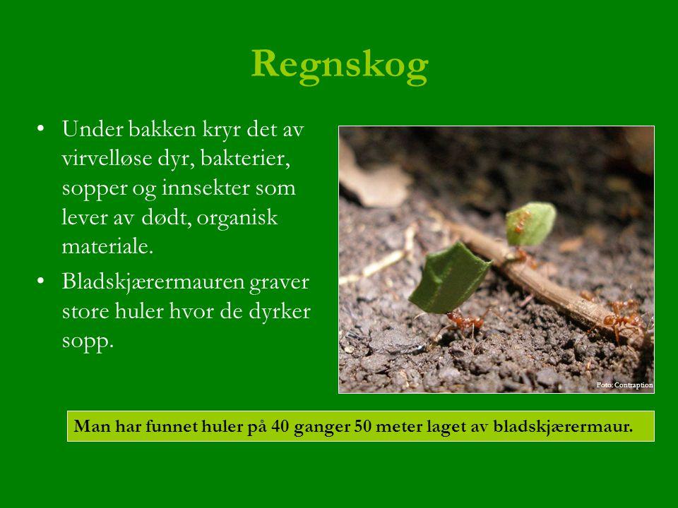Regnskog Under bakken kryr det av virvelløse dyr, bakterier, sopper og innsekter som lever av dødt, organisk materiale. Bladskjærermauren graver store