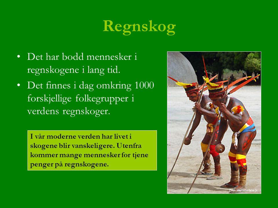 Regnskog Det har bodd mennesker i regnskogene i lang tid. Det finnes i dag omkring 1000 forskjellige folkegrupper i verdens regnskoger. I vår moderne
