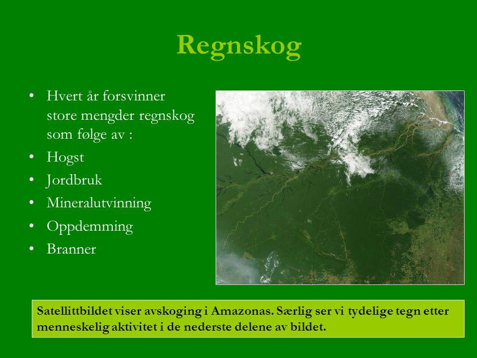 Regnskog Hvert år forsvinner store mengder regnskog som følge av : Hogst Jordbruk Mineralutvinning Oppdemming Branner Satellittbildet viser avskoging i Amazonas.