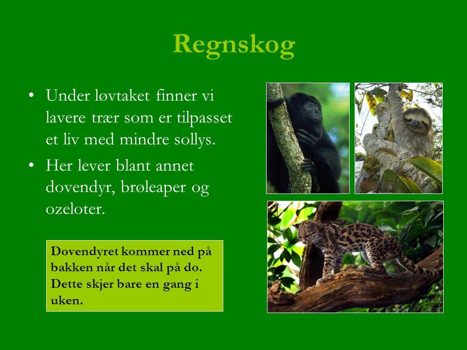 Regnskog Under løvtaket finner vi lavere trær som er tilpasset et liv med mindre sollys. Her lever blant annet dovendyr, brøleaper og ozeloter. Dovend
