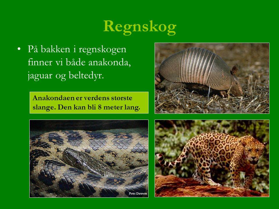 Regnskog På bakken i regnskogen finner vi både anakonda, jaguar og beltedyr. Anakondaen er verdens største slange. Den kan bli 8 meter lang. Foto: Daw