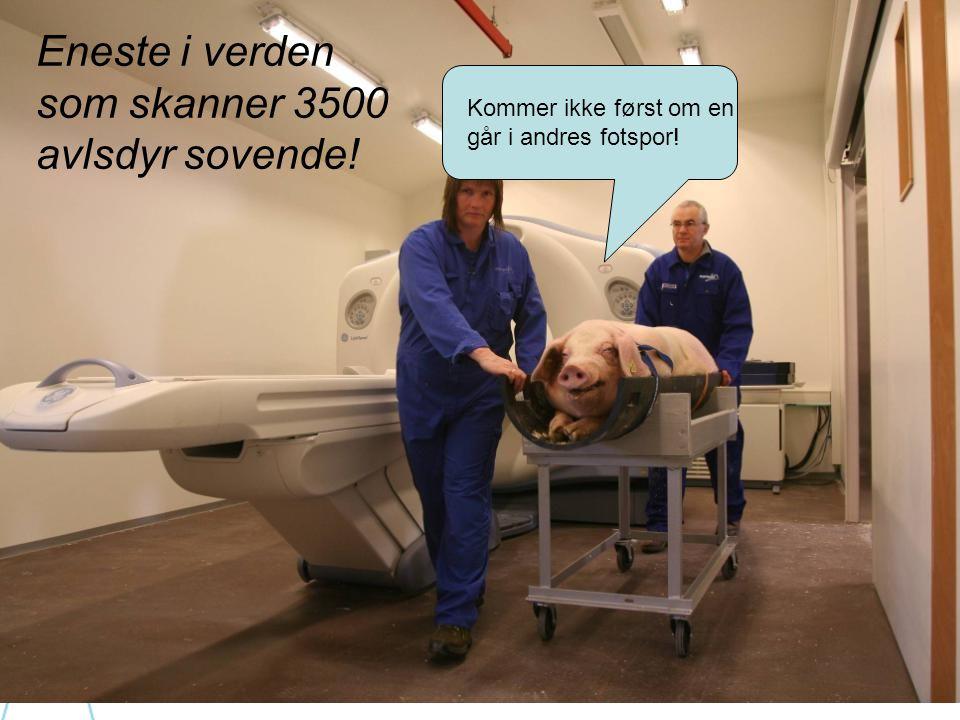Norwegian pig genetics! Norske gener i over 20 millioner slaktegris..