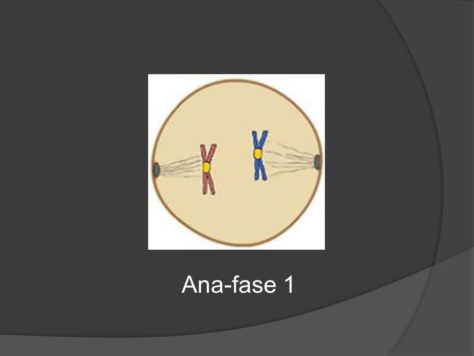 Ana-fase 1