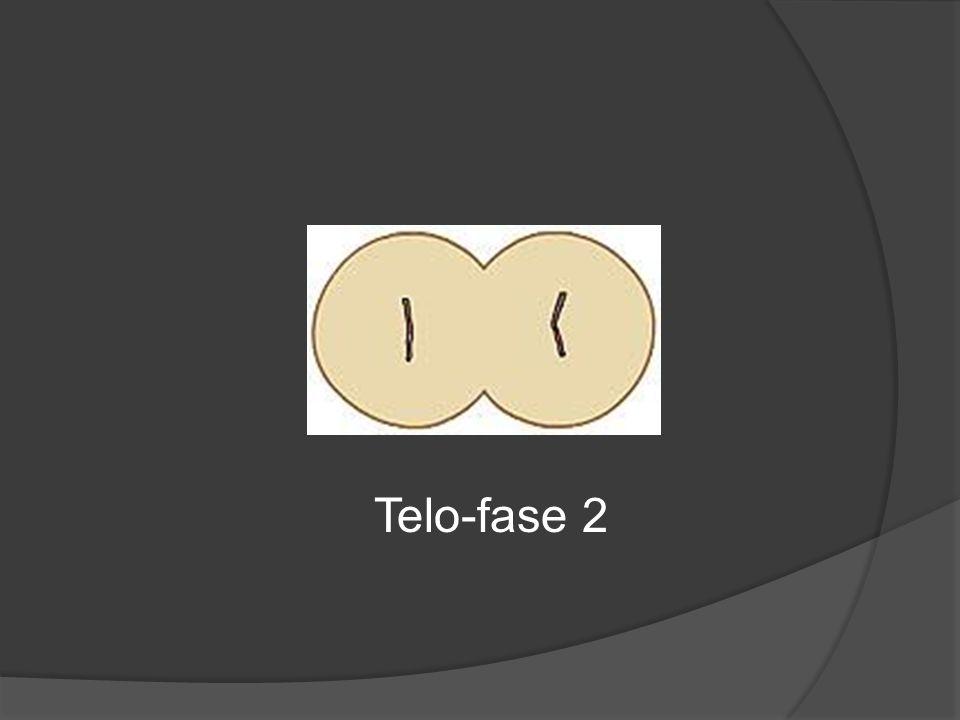 Telo-fase 2