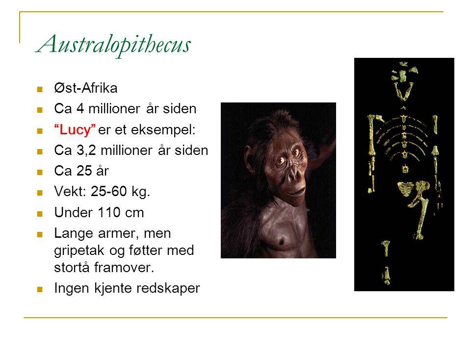 """A ustralopithecus Øst-Afrika Ca 4 millioner år siden """"Lucy"""" er et eksempel: Ca 3,2 millioner år siden Ca 25 år Vekt: 25-60 kg. Under 110 cm Lange arme"""