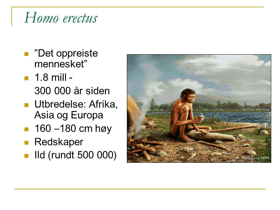 """Homo erectus """"Det oppreiste mennesket"""" 1.8 mill - 300 000 år siden Utbredelse: Afrika, Asia og Europa 160 –180 cm høy Redskaper Ild (rundt 500 000)"""
