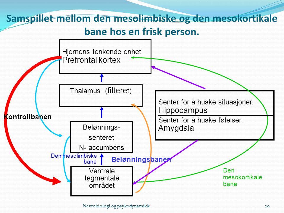 Samspillet mellom den mesolimbiske og den mesokortikale bane hos en frisk person. 20 Hjernens tenkende enhet Prefrontal kortex Thalamus ( filtere t) B