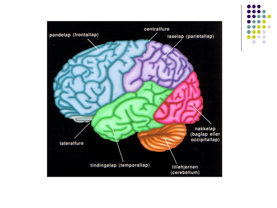 Grå og hvit substans Grå substans – nerveceller og dendritter Hvit substans – aksoner (omgitt av myelin) -spesialbygd for å lede nerveimpulser over lange avstander