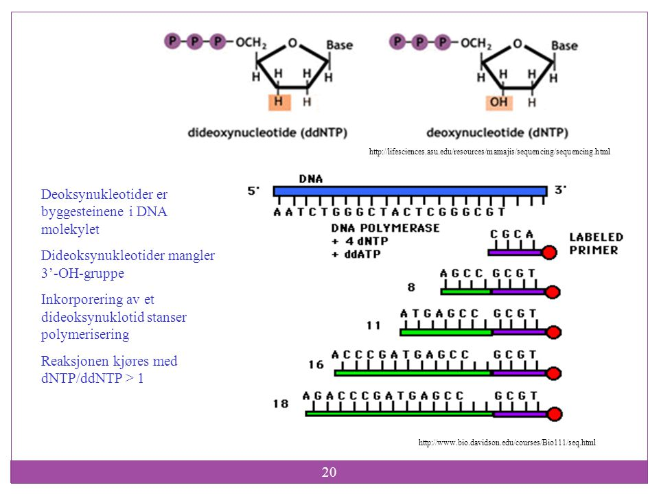 20 http://www.bio.davidson.edu/courses/Bio111/seq.html http://lifesciences.asu.edu/resources/mamajis/sequencing/sequencing.html Deoksynukleotider er b