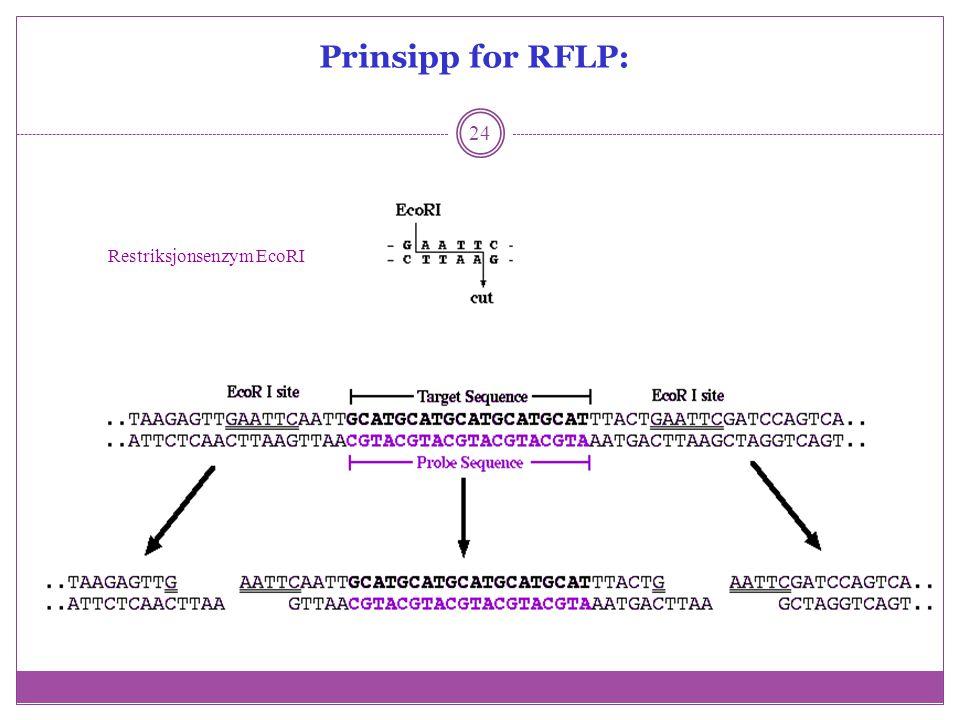 Prinsipp for RFLP: 24 Restriksjonsenzym EcoRI