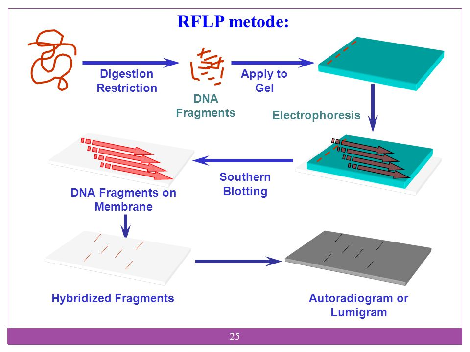 25 Digestion Restriction DNA Fragments Apply to Gel Electrophoresis Southern Blotting DNA Fragments on Membrane Hybridized FragmentsAutoradiogram or Lumigram RFLP metode: