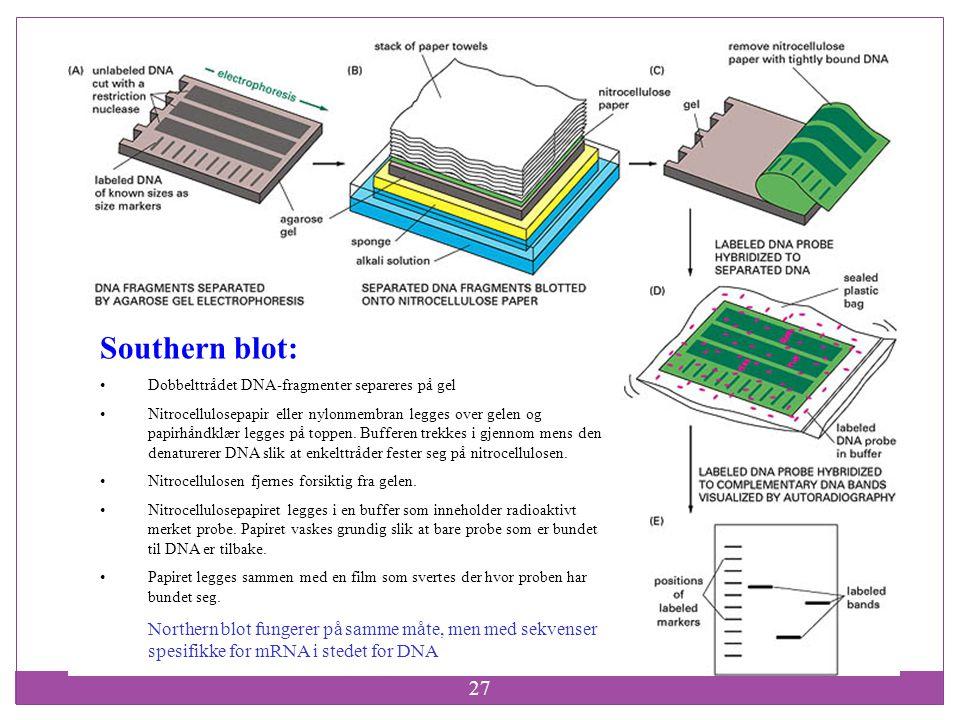 27 Southern blot: Dobbelttrådet DNA-fragmenter separeres på gel Nitrocellulosepapir eller nylonmembran legges over gelen og papirhåndklær legges på to