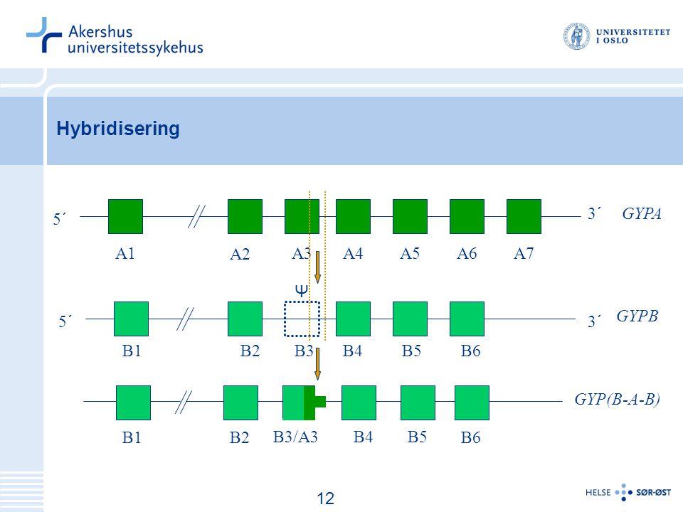 13 Hybridisering A1A3 A2 A5A6A7A4 B1B2B3B4B5B6 5´ 3´ GYPA GYPB B5B4 B2B1B6 B3/A3 GYP(B-A-B) Ψ 12