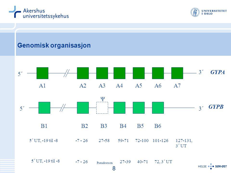 9 Genomisk organisasjon A1A3A2A5A6A7A4 B1B2B3B4B5B6 5´ 3´ GYPA GYPB 5´ UT, -19 til -8 -7 - 26 27-58 Pseudoexon 59-71 27-39 72-100 40-71 101-126 72, 3´ UT 127-131, 3´ UT Ψ 8