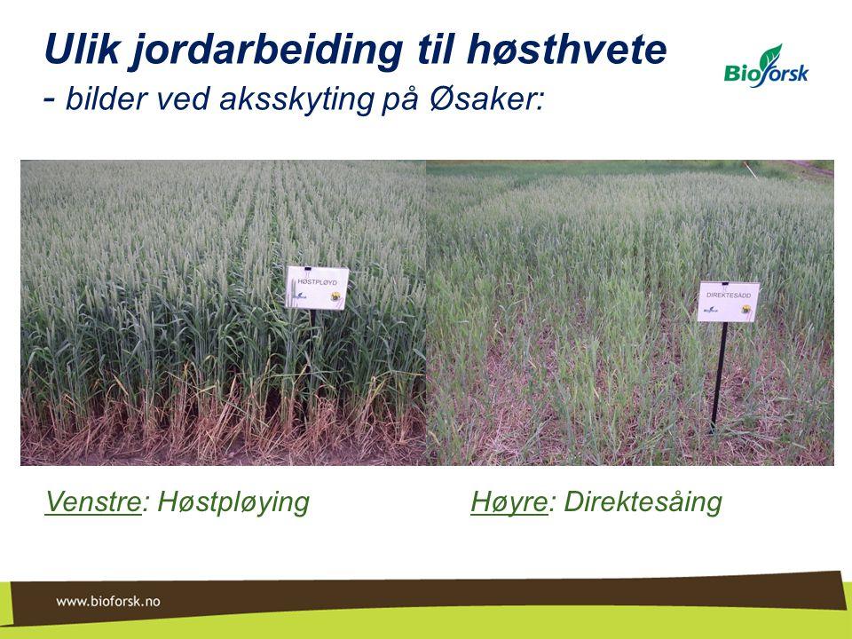 Ulik jordarbeiding til høsthvete - bilder ved aksskyting på Øsaker: Venstre: Høstpløying Høyre: Direktesåing
