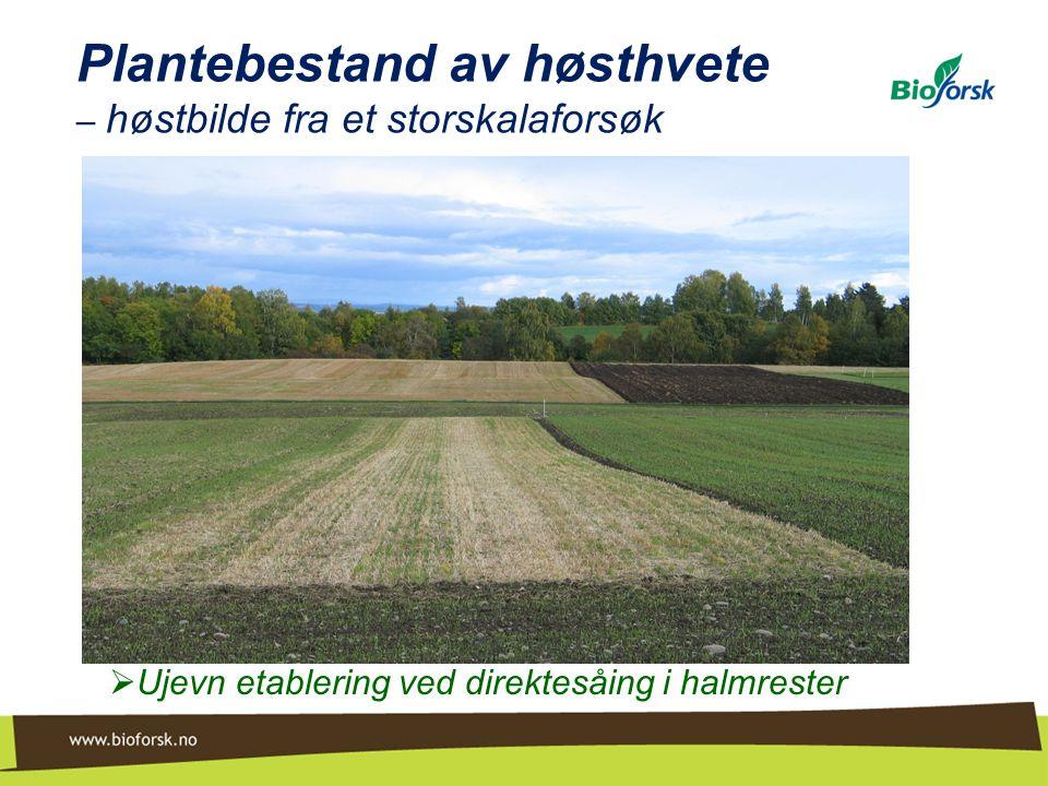 Plantebestand av høsthvete – vårbilde fra et langvarig felt (Øsaker) Venstre: Harving Midten: Direktesåing Høyre: Pløying