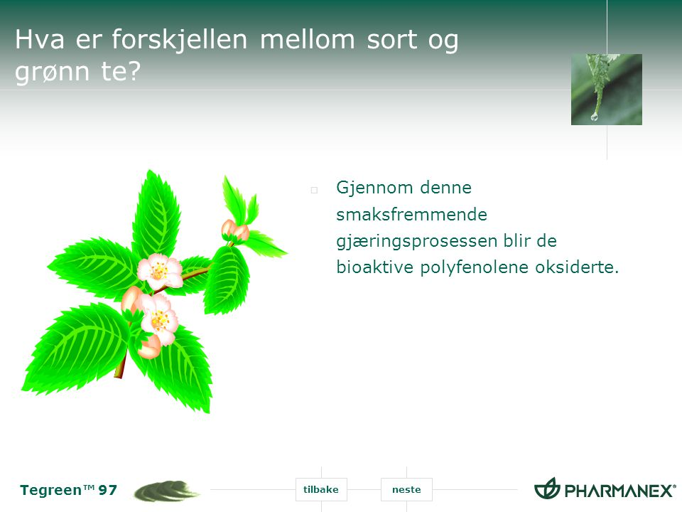 Tegreen™ 97 tilbakeneste Hva er forskjellen mellom sort og grønn te?  Gjennom denne smaksfremmende gjæringsprosessen blir de bioaktive polyfenolene o