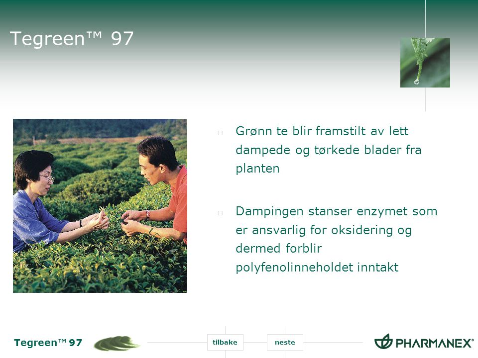 Tegreen™ 97 tilbakeneste Tegreen™ 97  Grønn te blir framstilt av lett dampede og tørkede blader fra planten  Dampingen stanser enzymet som er ansvar