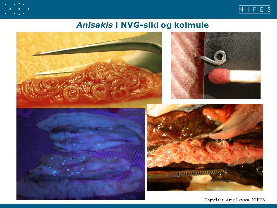 Anisakis i NVG-sild og kolmule Copyright: Arne Levsen, NIFES