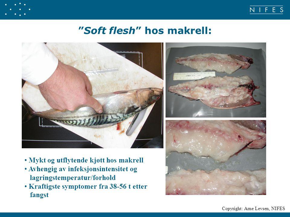 """""""Soft flesh"""" hos makrell: Mykt og utflytende kjøtt hos makrell Avhengig av infeksjonsintensitet og lagringstemperatur/forhold Kraftigste symptomer fra"""
