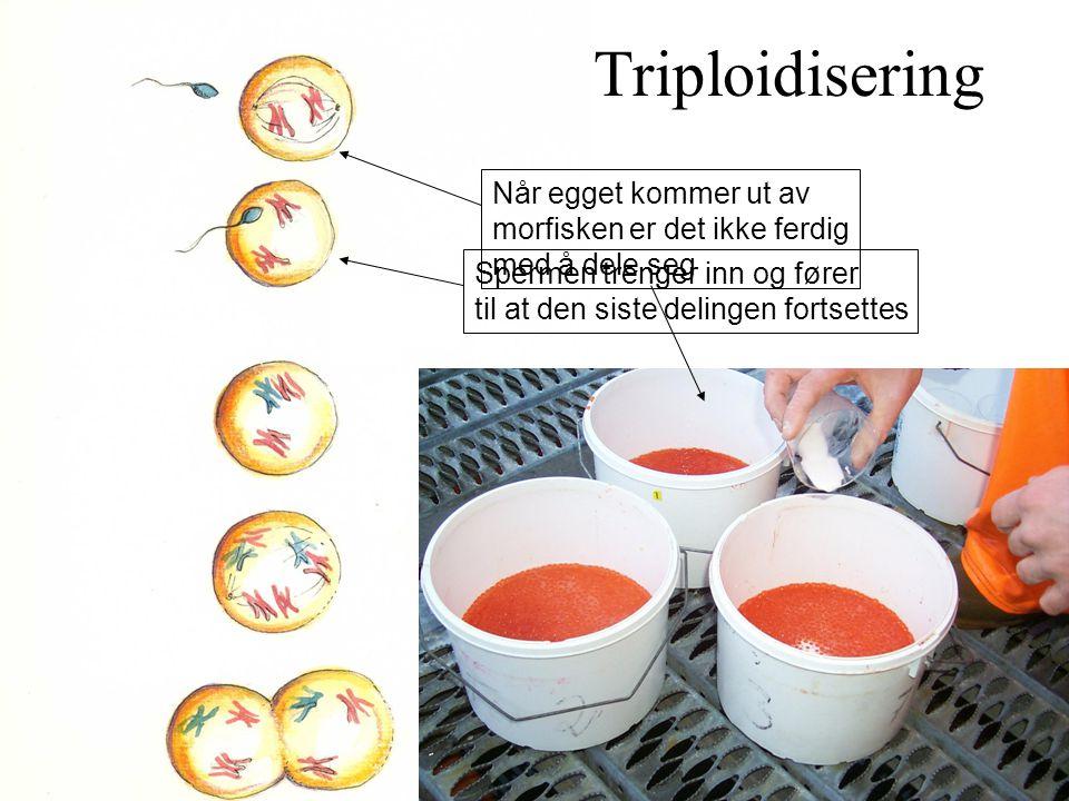 Når egget kommer ut av morfisken er det ikke ferdig med å dele seg Spermen trenger inn og fører til at den siste delingen fortsettes Triploidisering