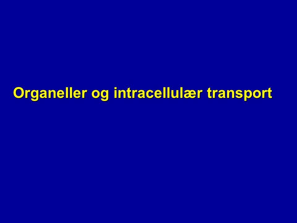 Retensjon i ER-lumen * Spesifikk sekvens: KDEL * C-terminal N C KDEL