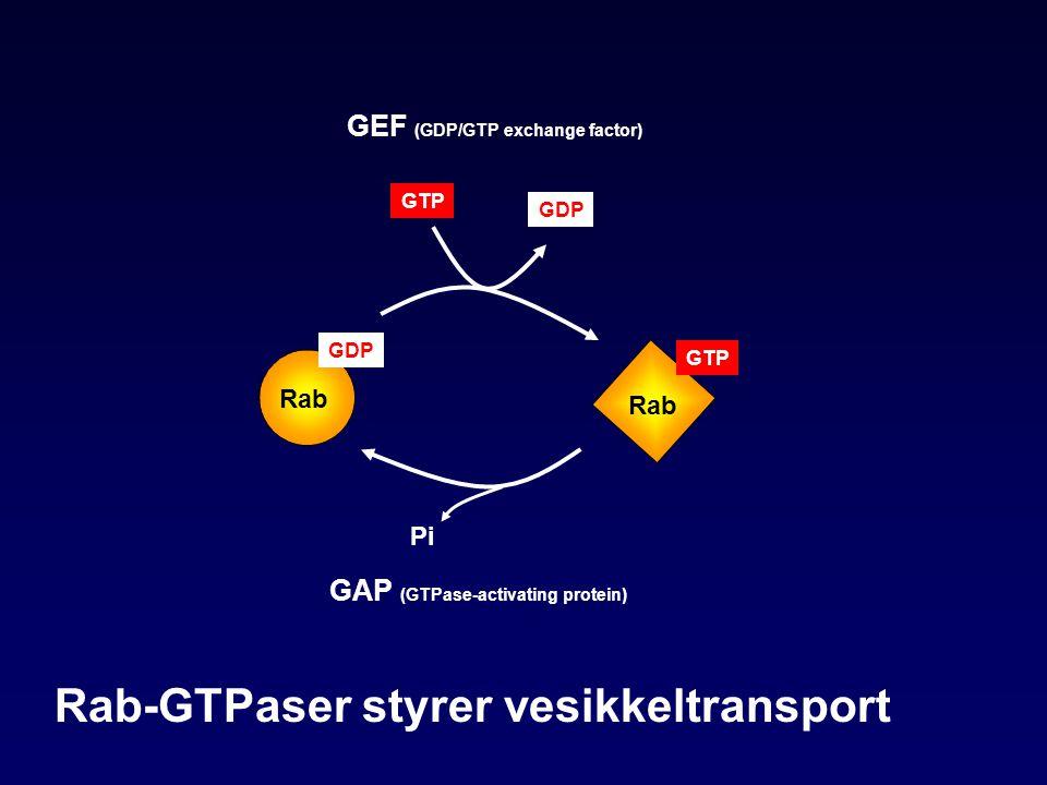 GAP (GTPase-activating protein) GEF (GDP/GTP exchange factor) GDP Rab GTP Rab Pi GDP GTP Rab-GTPaser styrer vesikkeltransport