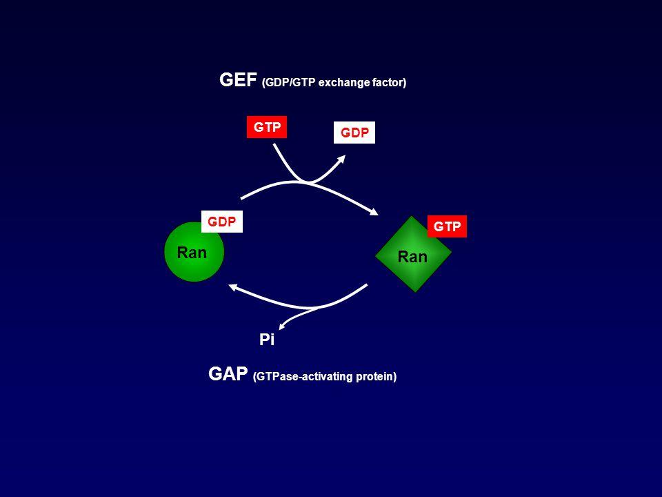 GAP (GTPase-activating protein) GEF (GDP/GTP exchange factor) GDP Ran GTP Ran Pi GDP GTP