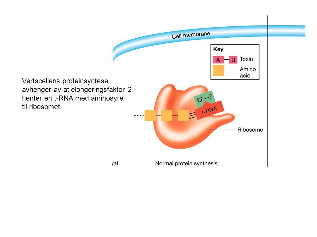 Vertscellens proteinsyntese avhenger av at elongeringsfaktor 2 henter en t-RNA med aminosyre til ribosomet