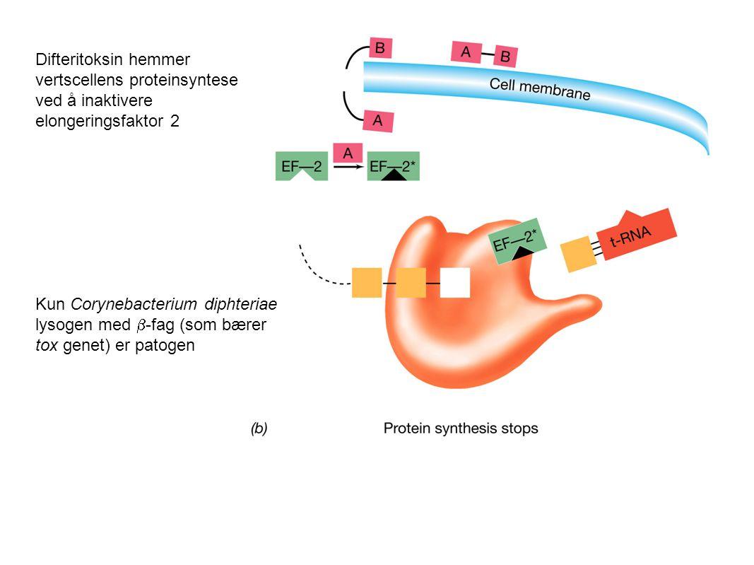 Difteritoksin hemmer vertscellens proteinsyntese ved å inaktivere elongeringsfaktor 2 Kun Corynebacterium diphteriae lysogen med  -fag (som bærer tox