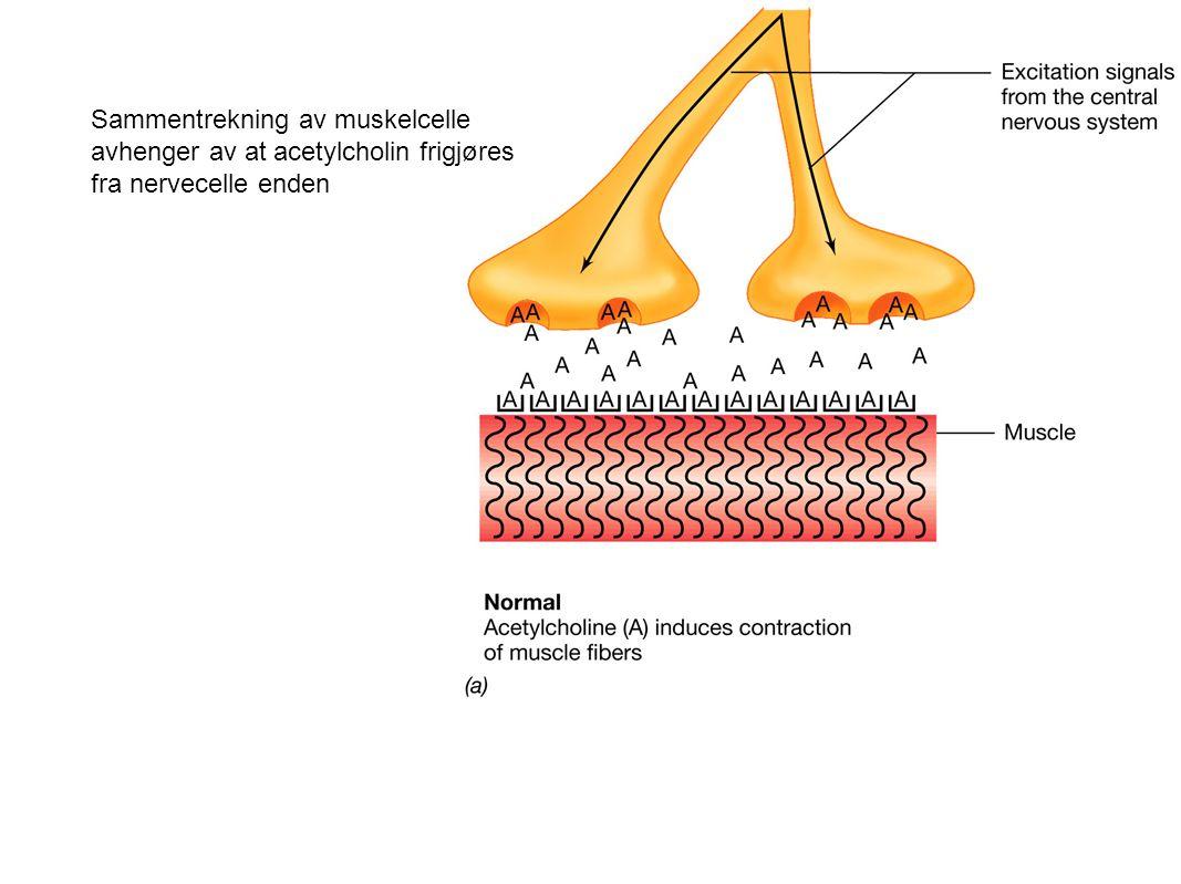 Sammentrekning av muskelcelle avhenger av at acetylcholin frigjøres fra nervecelle enden
