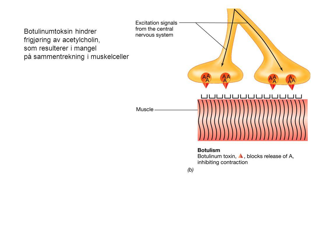 Botulinumtoksin hindrer frigjøring av acetylcholin, som resulterer i mangel på sammentrekning i muskelceller